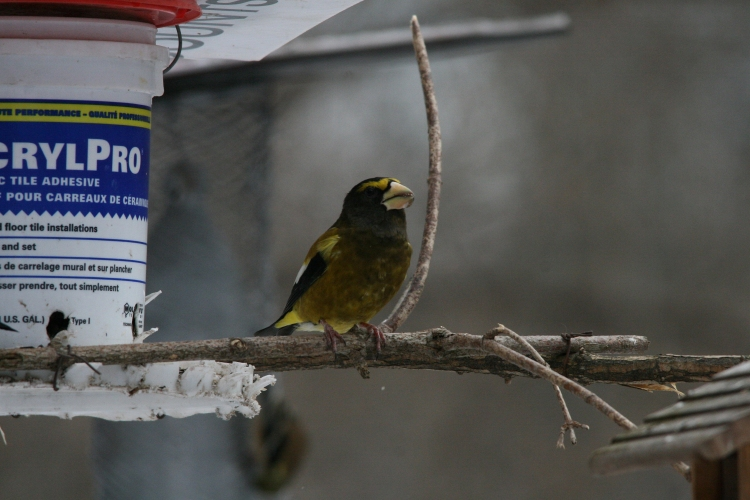 Male evening grosbeak eating and eyeing curious onlookers at High Park in Toronto, ON