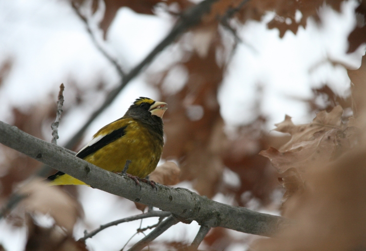 Male evening grosbeak encountered on trail at High Park in Toronto, ON