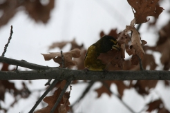 Male evening grosbeak eating something on leaf at High Park in Toronto, ON