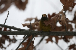 Evening grosbeak on tree limb at High Park in Toronto, ON