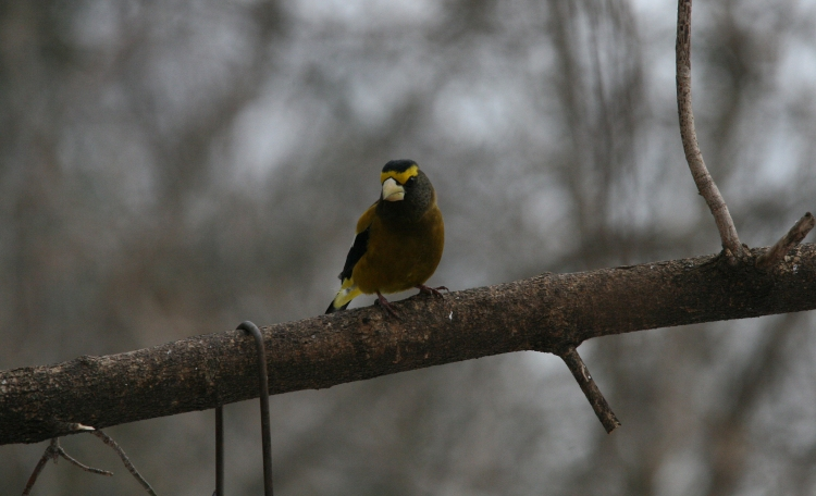 Male evening grosbeak on tree limb at High Park in Toronto, ON