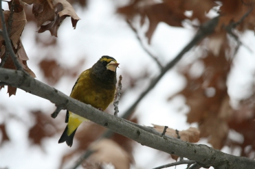 Male evening grosbeak eating leaf at High Park in Toronto, ON