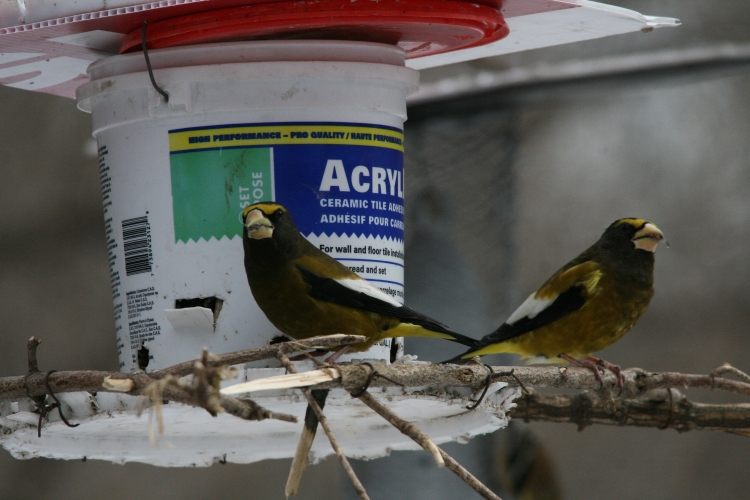 Male evening grosbeaks at feeder at High Park in Toronto, ON