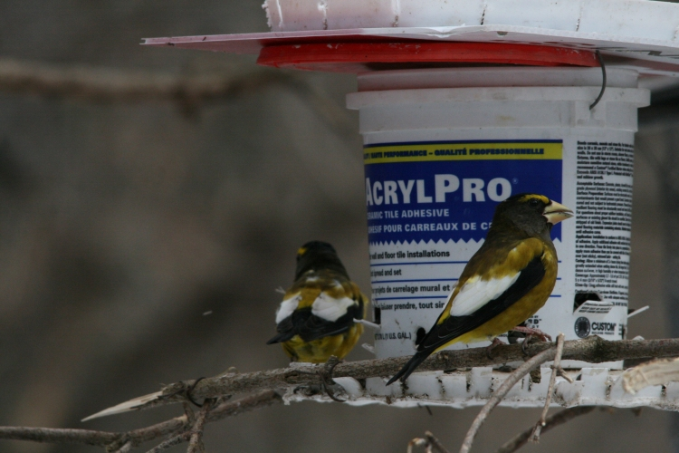 Male evening grosbeaks at High Park in Toronto, ON