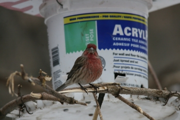 Male House Finch at High Park in Toronto, ON