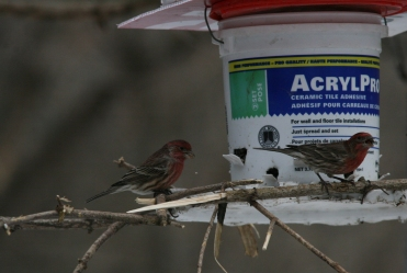 Male House Finches eating sunflower seed at High Park in Toronto, ON