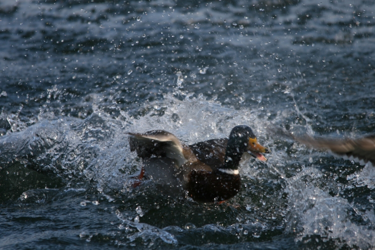 Male mallard landing at Lasalle Marina in Burlington, ON
