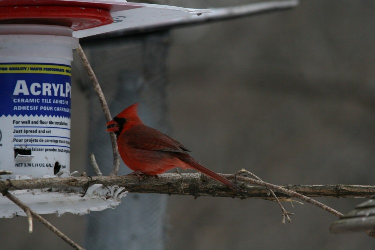 Male Northern Cardinal eating sunflower seed at High Park in Toronto, ON