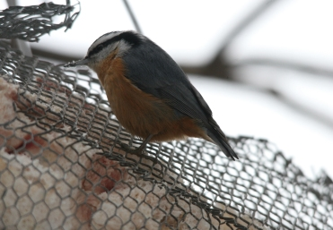 Male Red-Breasted Nuthatch eating High Park in Toronto, ON