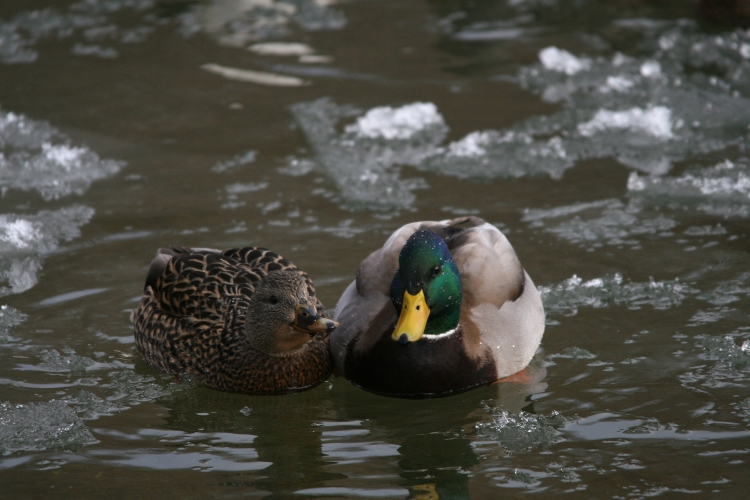 Mallard couple at Lasalle Marina in Burlington, ON