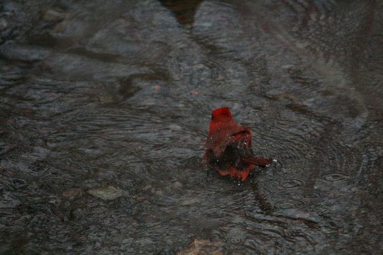 Northern Cardinal takes a bath at Hendrie Park in Burlington, Ontario in the winter