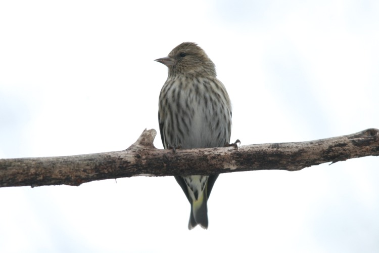 Pine Siskin at High Park in Toronto, ON