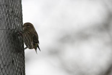 Pine Siskin on nyger feeder at High Park in Toronto, ON