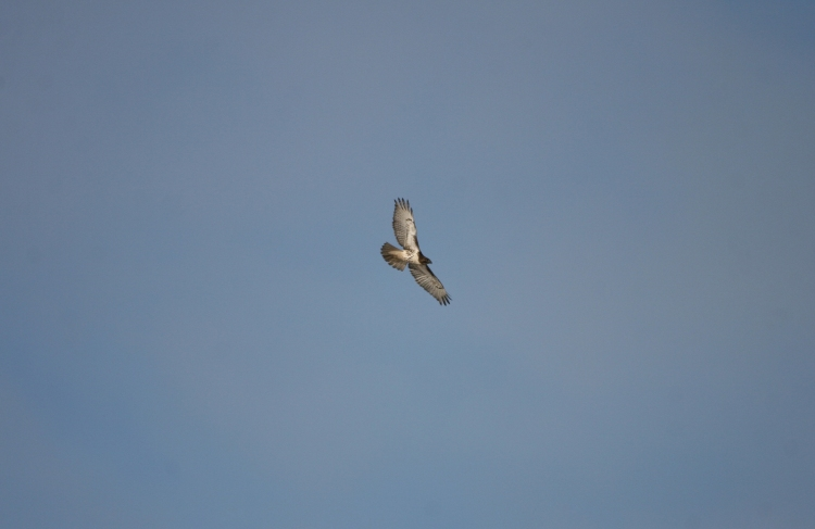Red-tailed hawk at Hendrie Park in Burlington, Ontario in the winter