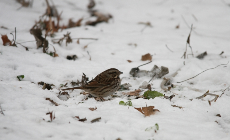 Song Sparrow at Lasalle Marina in Burlington, ON in the winter