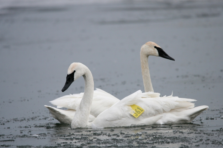 Trumpeter Swans at Lasalle Marina in Burlington, ON in the winter