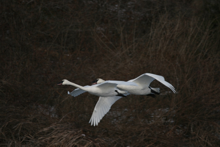 Trumpeter Swans in flight at Lasalle Marina in Burlington, ON in the winter