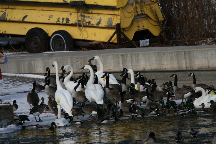 Waterfowl being fed at Lasalle Marina in Burlington, ON in the winter