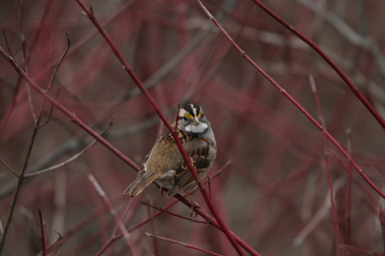 White-throated sparrow at Hendrie Park in Burlington, Ontario in the winter