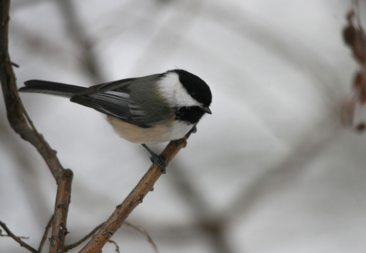Black-capped Chickadee at High Park in Toronto, On