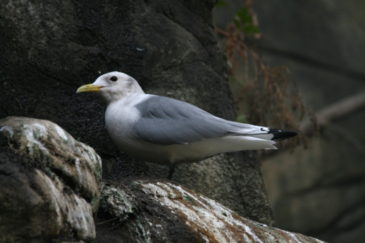 Black-legged kittiwake at the Biodome in Montreal, Quebec