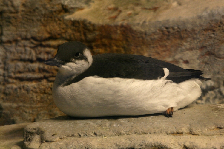 Common Murre at the Biodome in Montreal, Quebec
