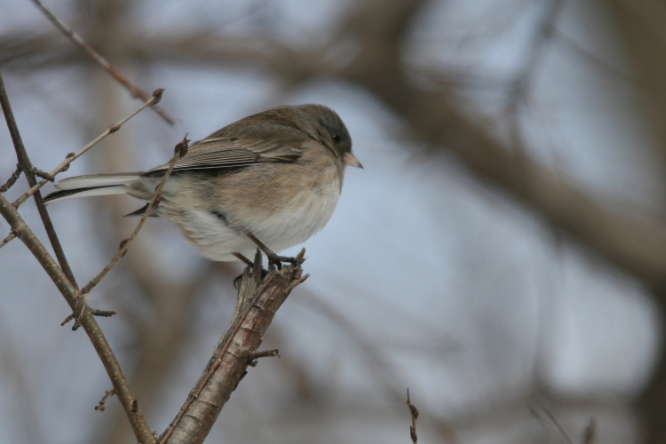 Brown Dark-eyed junco on branch at High Park in Toronto, On