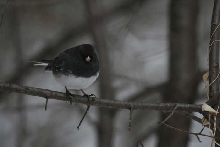 Dark-eyed Junco on branch at High Park in Toronto, On