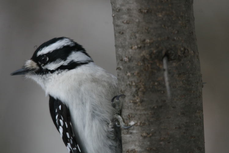 Downy woodpecker at High Park in Toronto, On