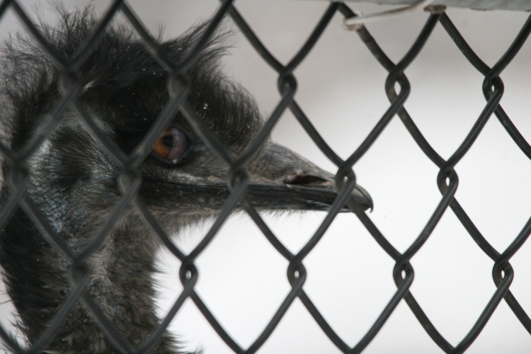 Emu at High Park Zoo in Toronto, On