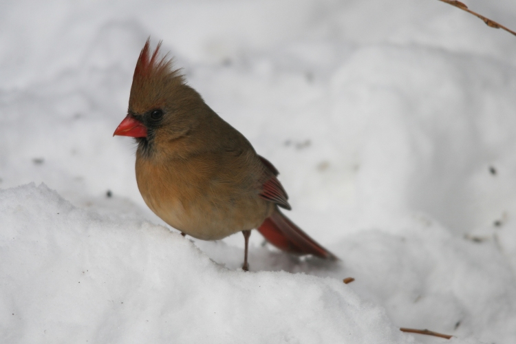 Female Northern Cardinal at High Park in Toronto, On