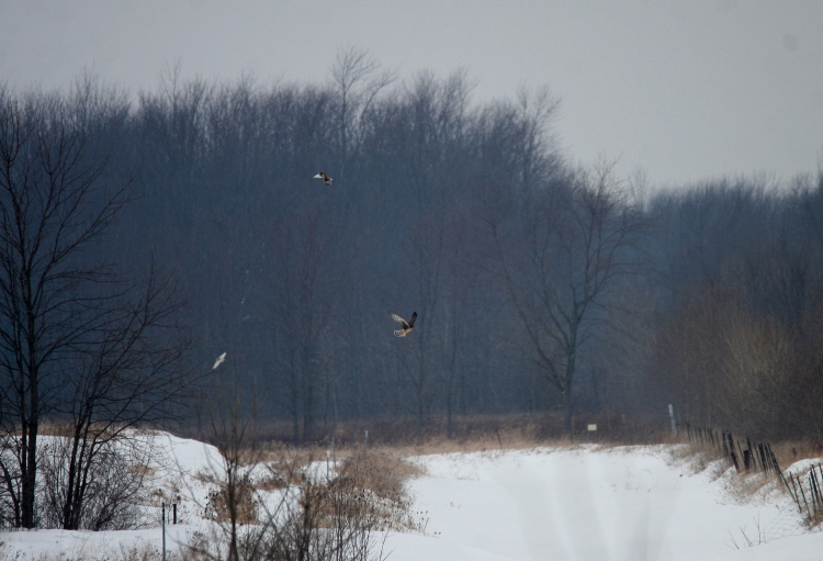 Female Northern Harrier and 2 Short-Eared Owls in Stoney Creek, ON