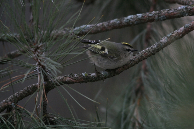 Golden-Crowned Kinglet at High Park in Toronto, On