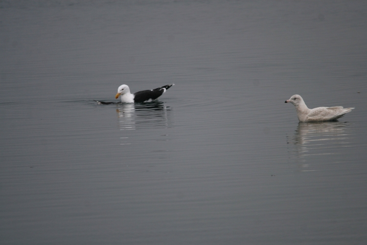 Greater Black-Backed gull & Glaucous gull inspecting carcass at the lift bridge canal in Burlington, ON