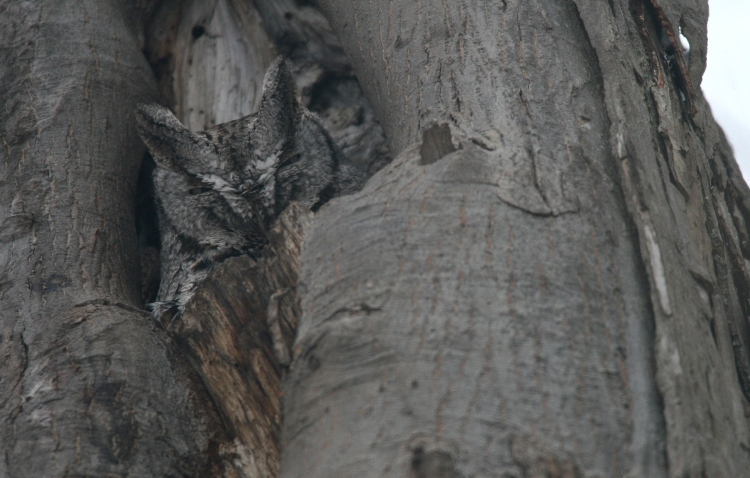 Grey morph Eastern Screech Owl in Burlington, ON