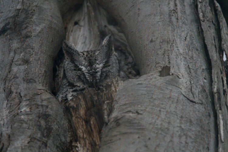 Grey morph Eastern Screech Owl in Burlington, Ontario