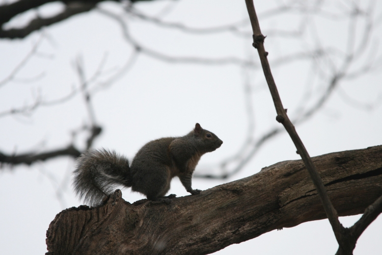 Grey Squirrel watches as hawk consumes another squirrel at High Park in Toronto, On