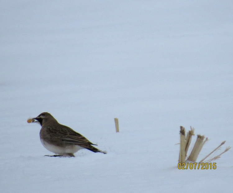 Horned Lark with food in Stoney Creek, ON