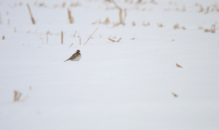 Horned Lark in Stoney Creek, ON