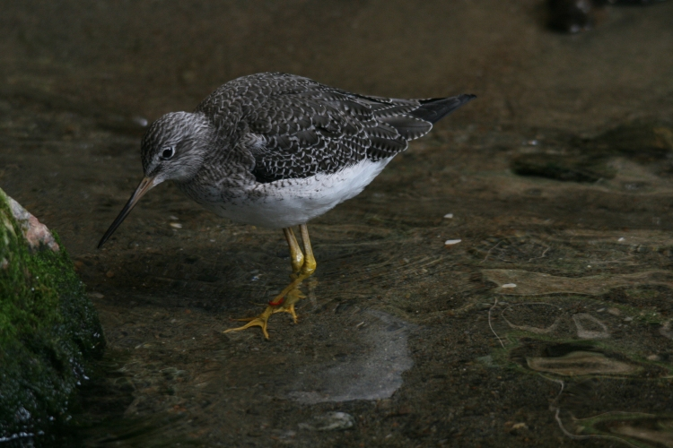 Lesser yellowlegs at the Biodome in Montreal, Quebec