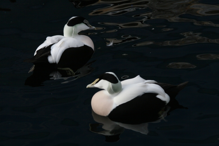 Male Common Eiders at the Biodome in Montreal, Quebec