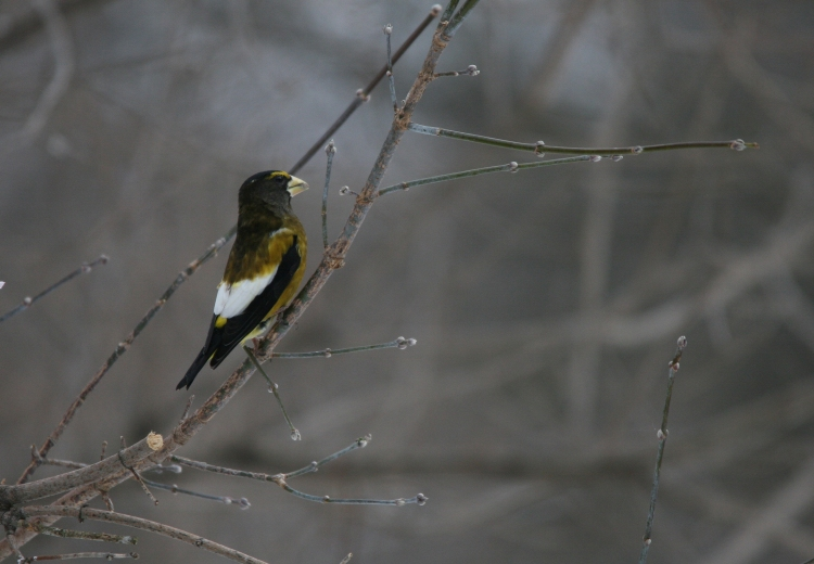 Male evening grosbeak at bird sanctuary at High Park in Toronto, On