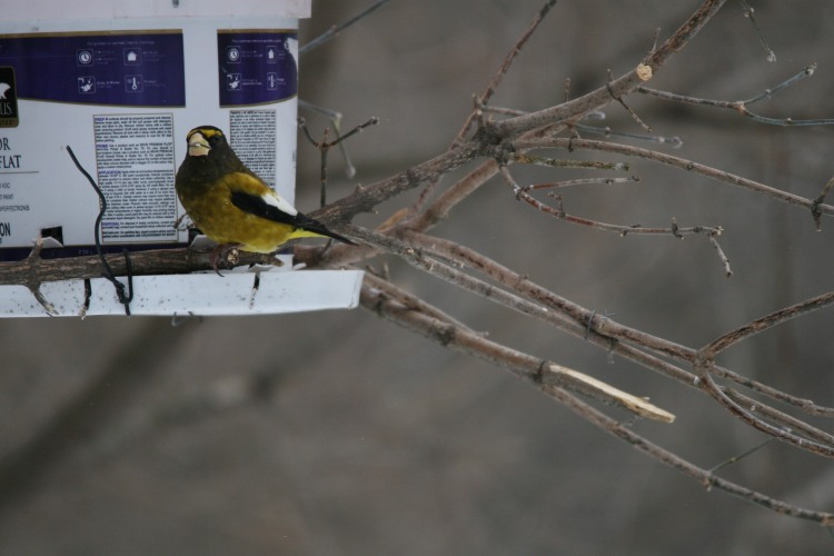 Male evening grosbeak at feeder at High Park in Toronto, On