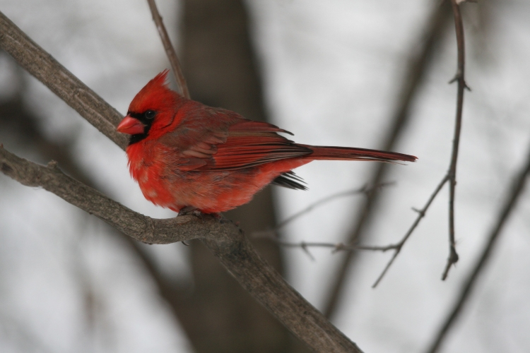 Male Northern Cardinal rests at High Park in Toronto, On