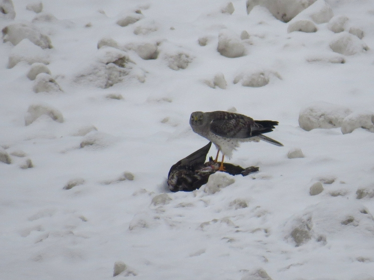 Male Northern Harrier with prey on the beah near the lift bridge in Burlington, ON