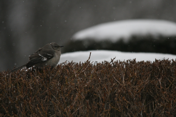 Northern Mockingbird at 12th street and Lakeshore Drive in Toronto, On