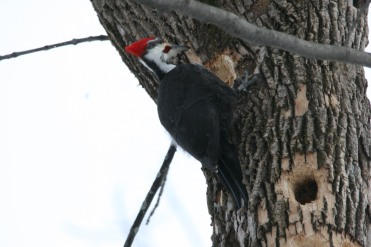 Male Pileated woodpecker at the Morgan Arboretum in Montreal, Quebec