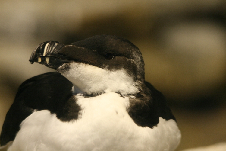 Razorbill Auk at the Biodome in Montreal, Quebec