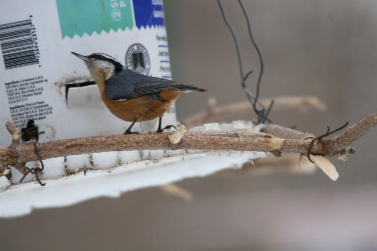 Red-breasted nuthatch at feeder at High Park in Toronto, On