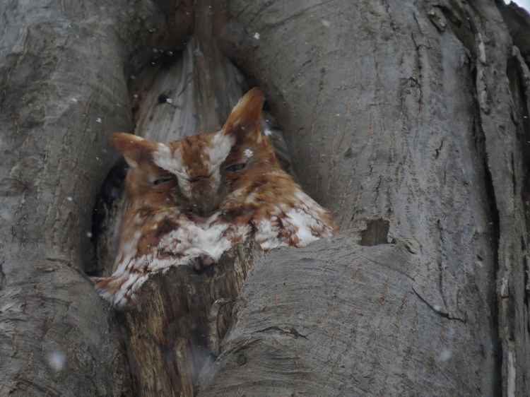Red morph Eastern Screech Owl in Burlington, Ontario